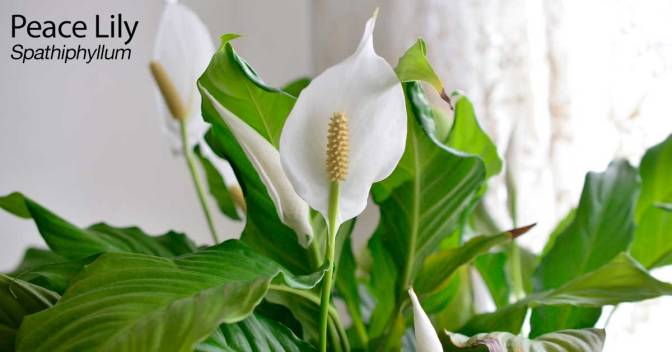 Most Effective Plants That Will Give Your Home New Air Of Freshness And Filter Out All Toxic Agents