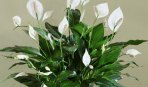 peace-lily-plant-care