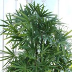 rhapis-excelsa-broadleaf-lady-palm-bamboo-palm-1