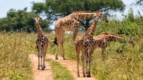uganda-giraffe